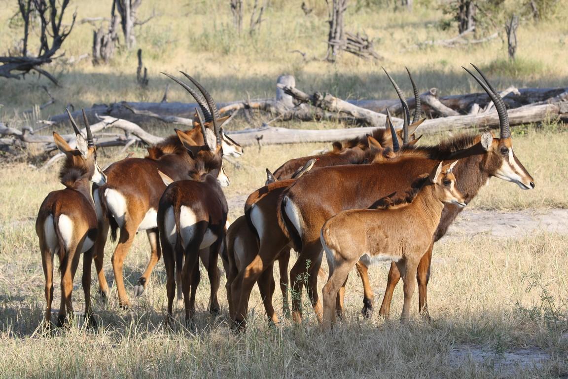 Rappenantilopen im Okawango