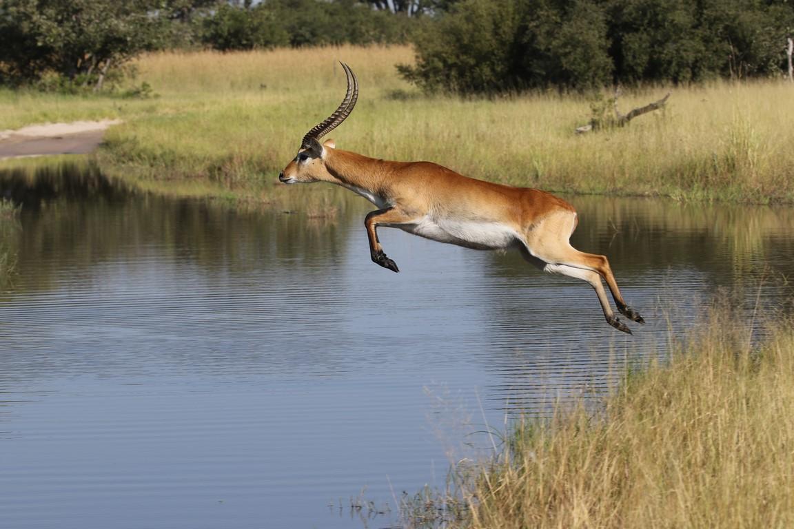 Mein Superstar, eine Lechwe-Sumpfantilope im Sprung