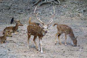Axishirsche im Wildpark zu Sarnath