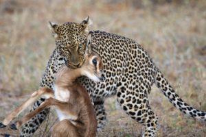 Futter für das Leopardenbaby