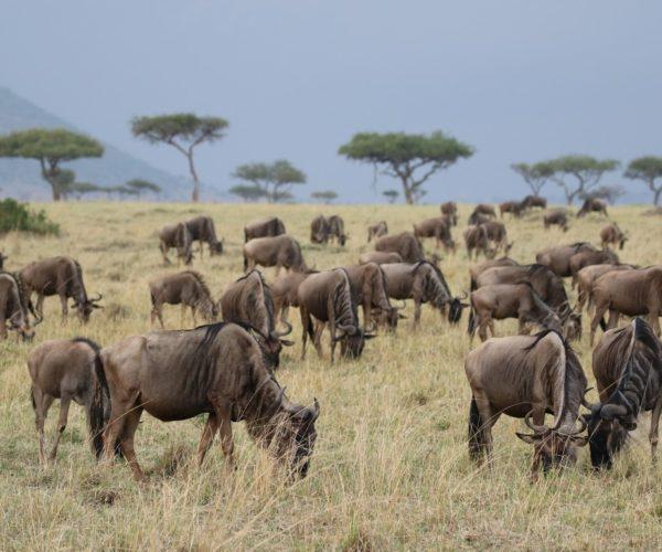 Gnus in der Massai mara