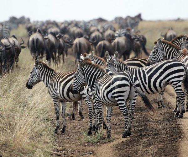 Zebras begleiten die endlosen Gnuherden
