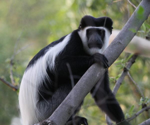 175 Colobus-Monkey